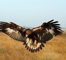 Immature Golden Eagle by raptrlvr