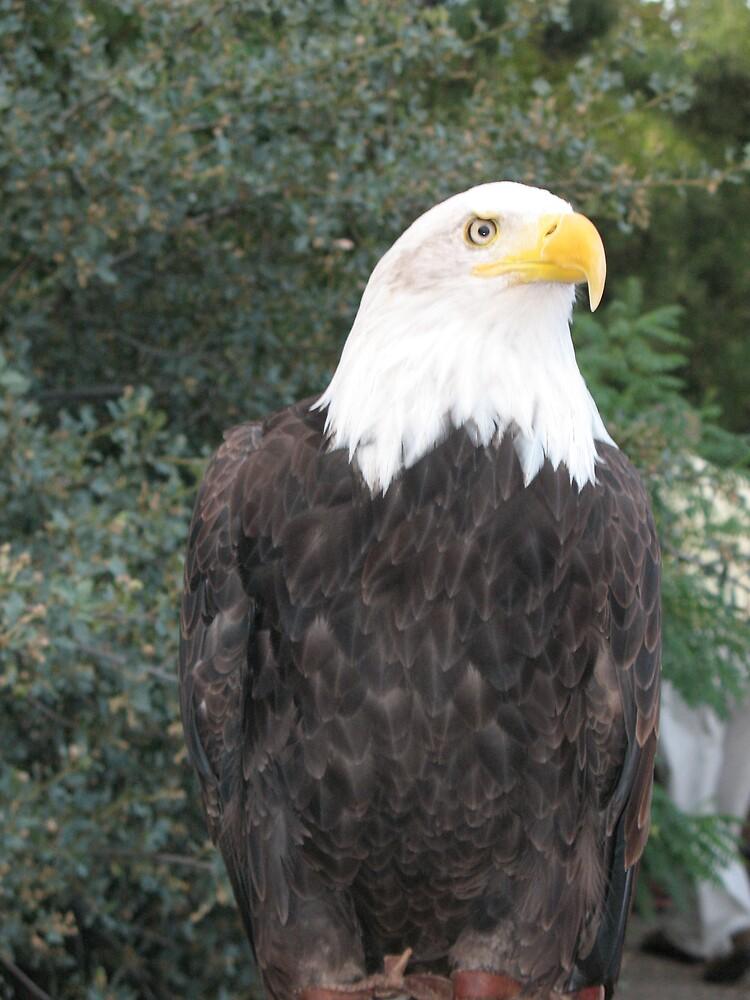 Bald eagle 1 by Brynne Kaufmann