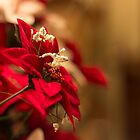 Poinsettia by John Velocci