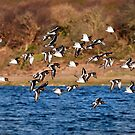 Oyster catchers by peaky40