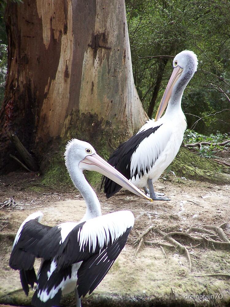 Pelicans by drainbrain70