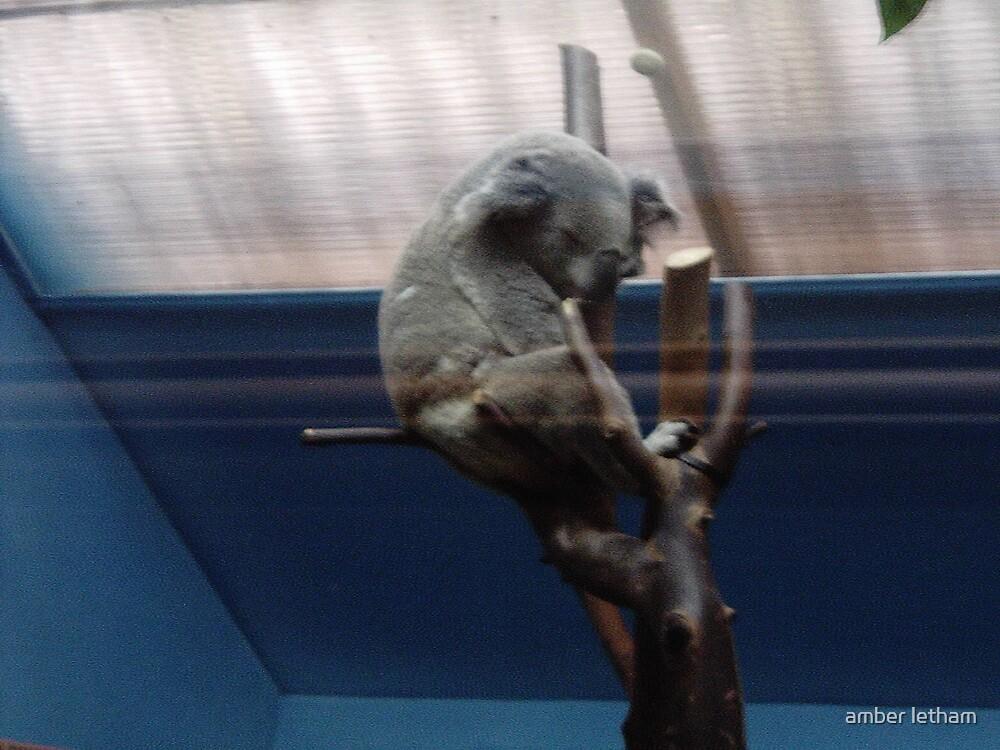 koala by amber letham