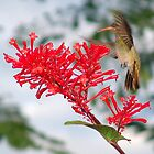 Humming Bird (2) by tonyphoto