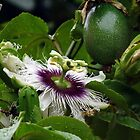 "Passion Flower ""3 in 1"" by tonyphoto"