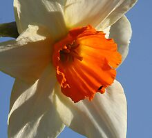 Daffodil and sky by Sue Hammond