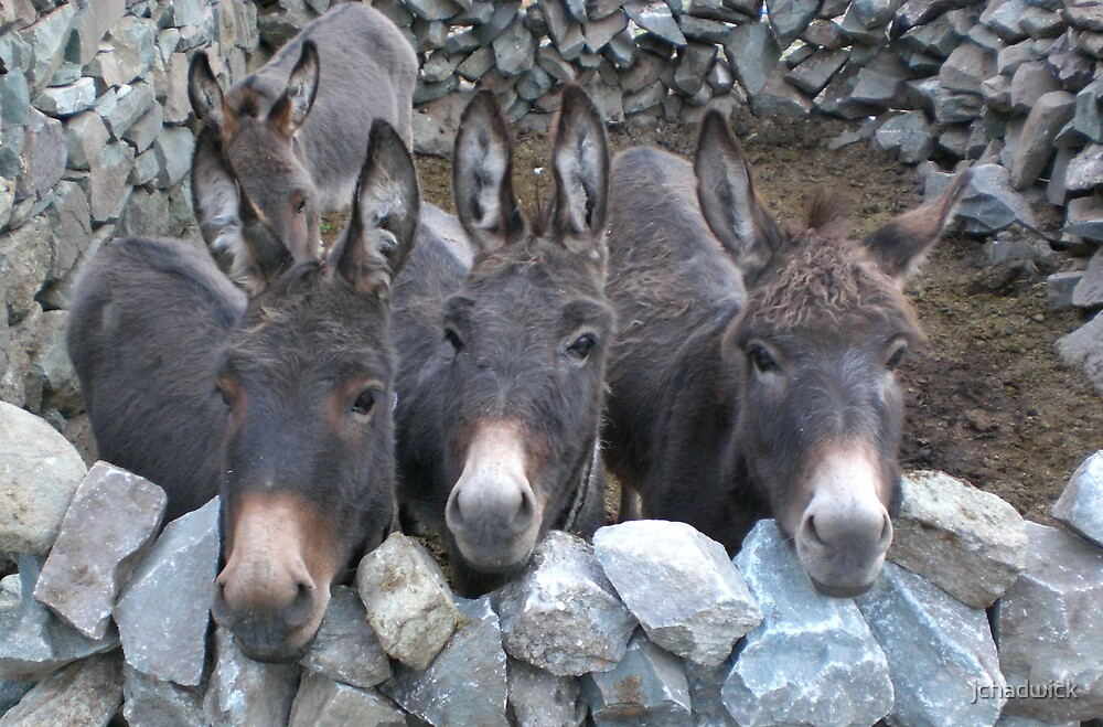 Donkeys by jchadwick