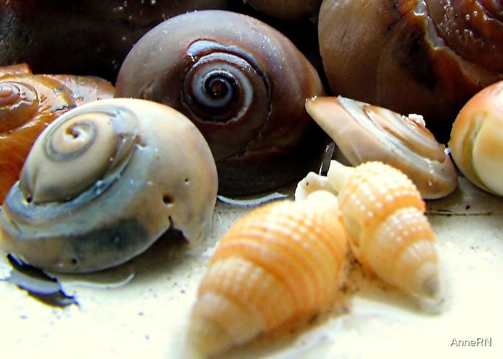 small shells by AnneRN