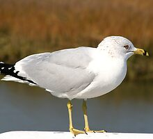 Ring-billed Gull by Gary L   Suddath