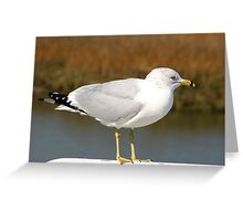 Ring-billed Gull Greeting Card