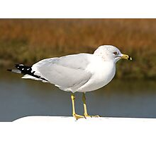 Ring-billed Gull Photographic Print