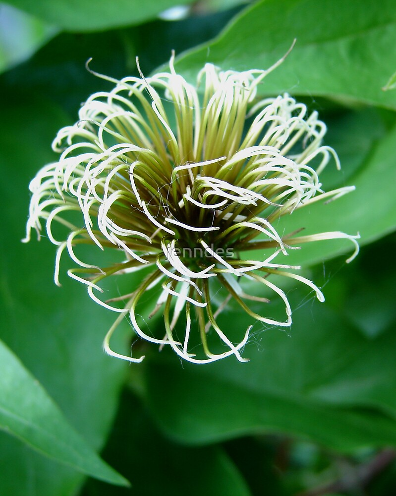 Clematis Flume by jenndes