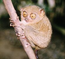 Tarsius syrichta - Philippine tarsier by Robert Phelps
