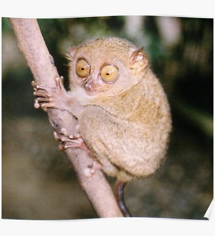 Tarsius syrichta - Philippine tarsier Poster