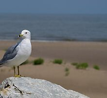 seagull on a rock by karonskreations