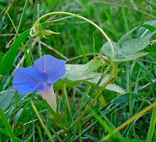 Ivy-Leaf Morning Glory Wildflower - Ipomoea hederacea by MotherNature