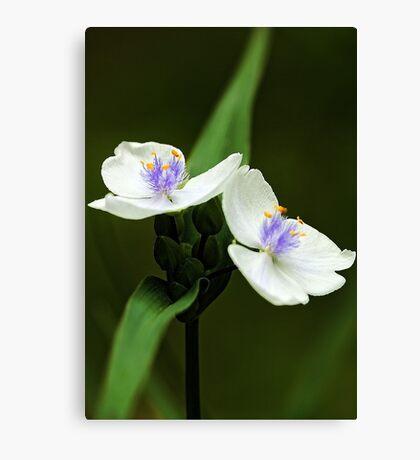 Alba Spiderwort -- In The Shade Garden Canvas Print