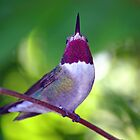 Ruby-Throated Beauty by patti4glory