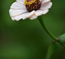 White Flower by Amorena Nobile