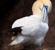Gannet by beakydave