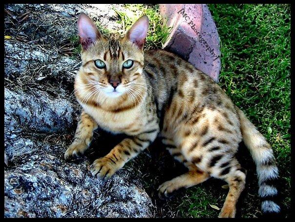 Beautiful Cat by Melissa  Carroll