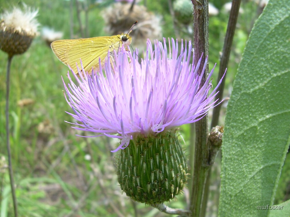 Thistle with butterfly by mwfoster