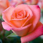 Pink Rose 1 by Jaxybelle