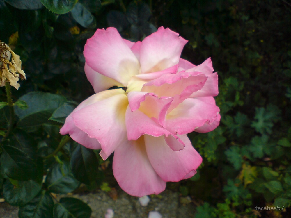 Pink Rose by tarabas57