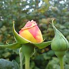 Rose bud by tarabas57