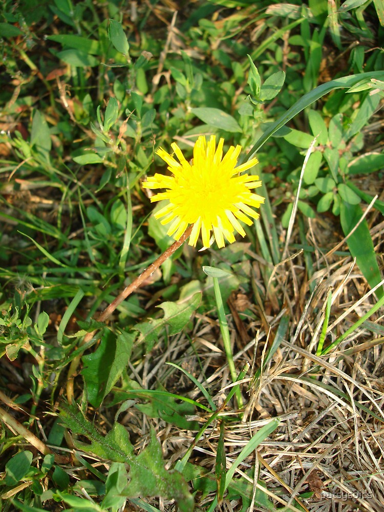 The Lowly Dandelion by patsyspics
