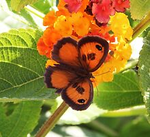 Southern Gatekeeper Butterfly by hummingbirds