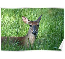 White-Tailed Doe Poster