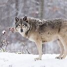 A lone Timber Wolf in the snow by Josef Pittner