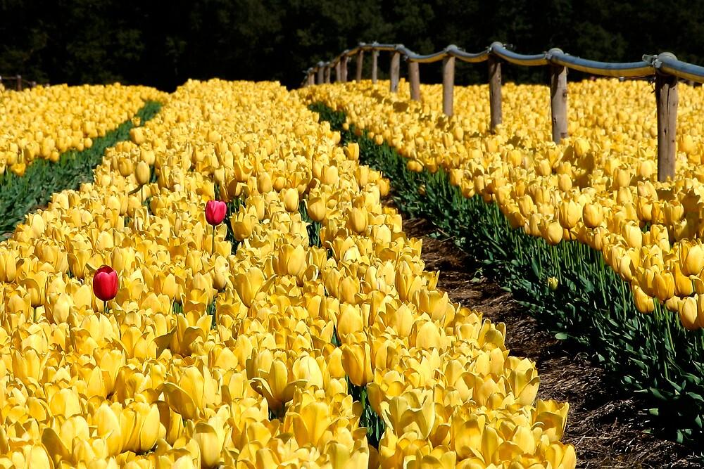 Tulips by robjbez