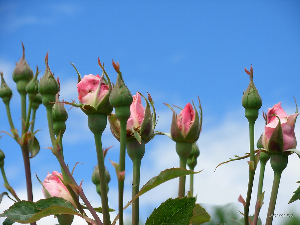 Rose buds by boozeox
