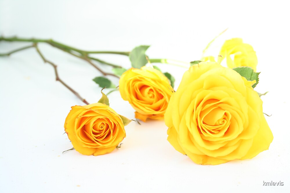 Yellow roses by kmlevis