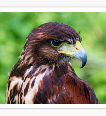 Falcons Eye Sticker