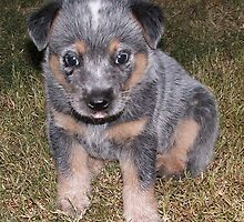 Blue Heeler Pup lll by BevB