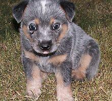 Blue Heeler Pup lll by BevB