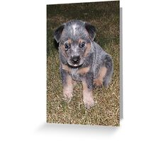 Blue Heeler Pup lll Greeting Card