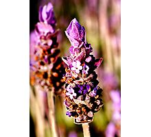 sweet lavender Photographic Print