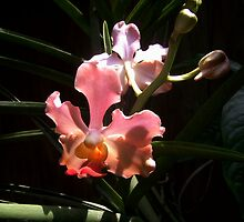 Orchids in Bright Sunlight by Carlo Cesar Rodillas
