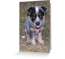 Blue Heeler Pup Greeting Card