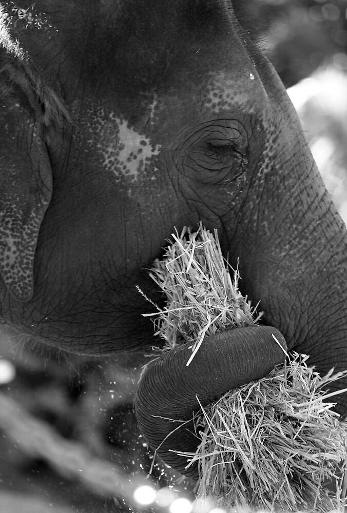Elephant's Lunch by Gavan  Mitchell