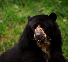 Andean Bear by Daniela Pintimalli