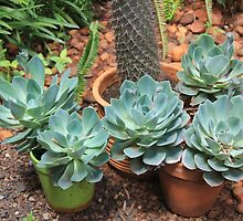 Echeveria imbricata survived the winter! by Maree  Clarkson