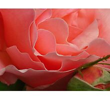 Delicate Pink Rose (Macro) Photographic Print