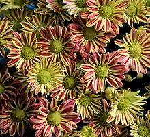 Chrysanthemum by Bob Hardy