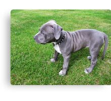 Gorgeous Baby, Blue Pit Bull Puppy Dog With Wrinkles Canvas Print