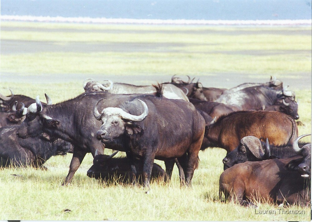 Buffalo Galore by Lauren Thomson