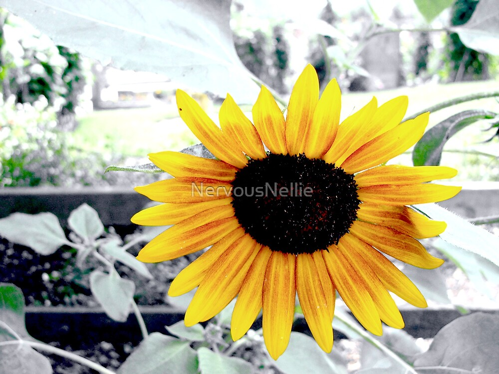 Sunflower by NervousNellie